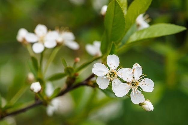 Красивые цветы дерева cerasus крупным планом