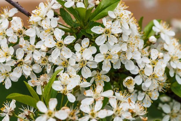 Красивые цветы дерева cerasus.