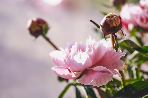분홍색 모란 배경의 아름다운 꽃 모란 꽃다발