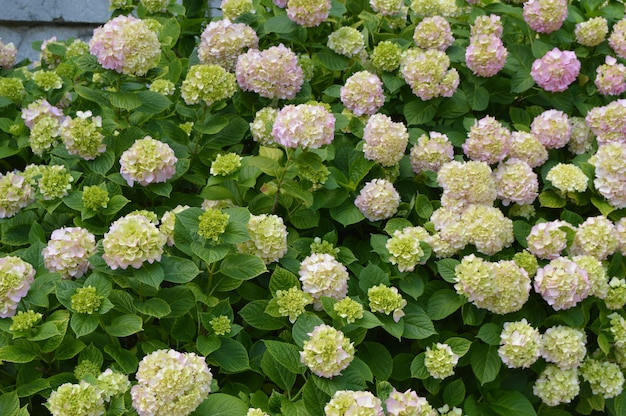 Beautiful flowers of white and pink hydrangea in the garden.