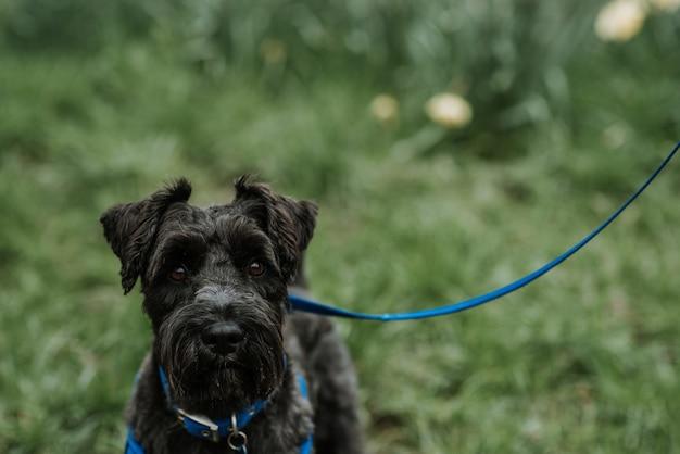 Beautiful and fluffy black bouvier des flandres belgian dog on a blue leash