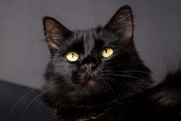 Beautiful fluffy black cat with yellow eyes