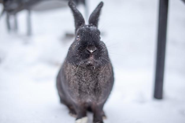 Красивый, пушистый черный кролик зимой в парке. кролик сидит в ожидании еды.
