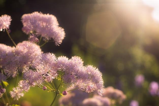 Красивая пушистая ветка шаровидных цветов сирени в лучах заходящего солнца. солнечный зайчик в кадре на размытом фоне селективный фокус фото горизонтальный без манно людей