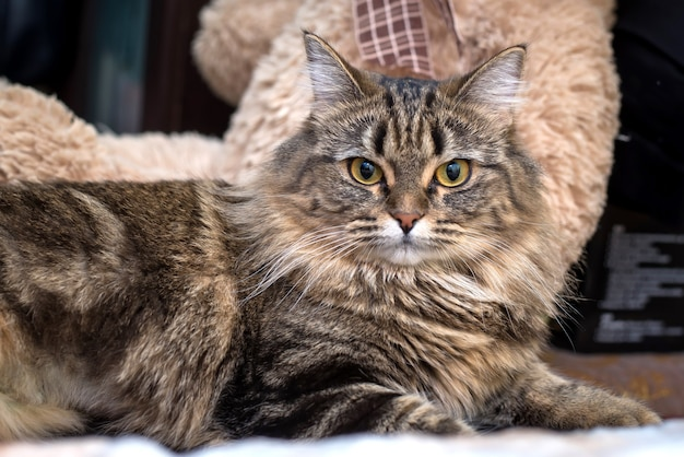 Красивый пушистый коричневый милый кот лежал