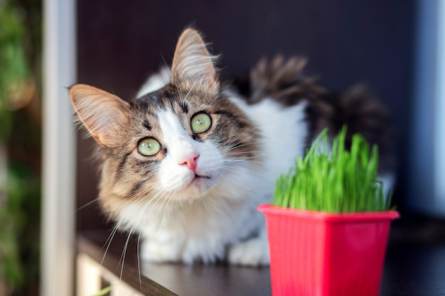 A beautiful fluffy cat lies in the apartment next to the cat grass. special herb for domestic cats