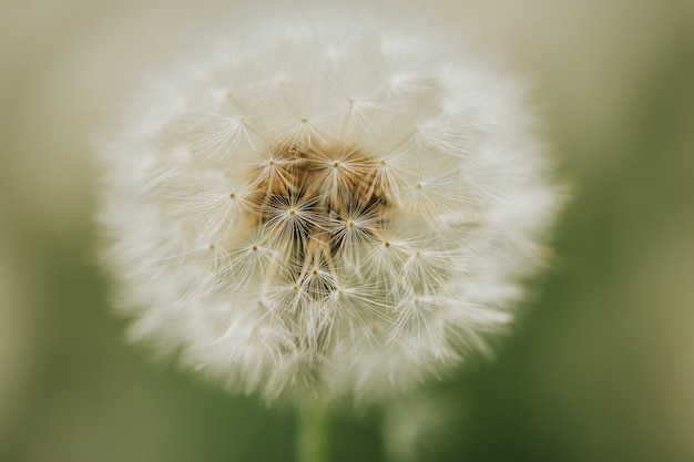 Beautiful fluffy dandelion in the open air on a blurred background