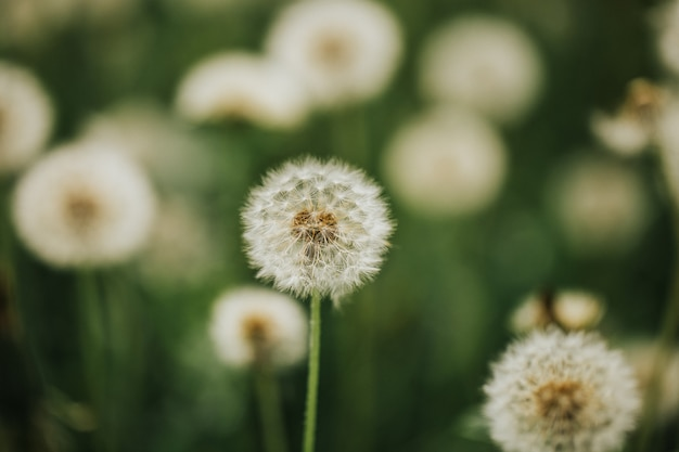 Beautiful fluffy dandelions in the open air on a blurred background