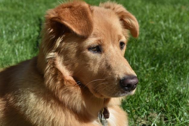 Красивая пушистая собака ретривера утки, лежащая в траве.