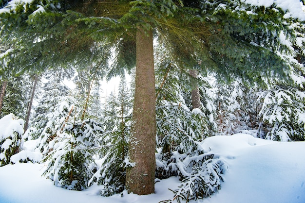 Beautiful fluffy green spruce stands among the forest in the snow in the winter. concept of trekking in the forest in winter