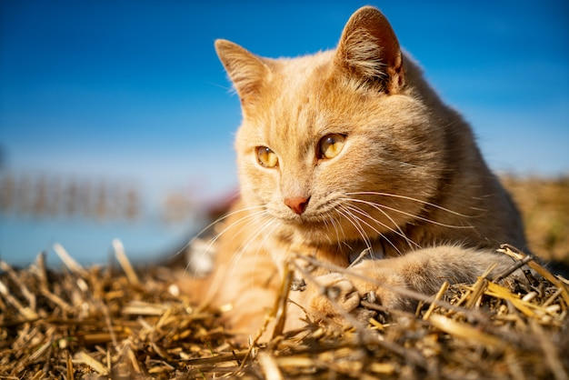 Beautiful fluffy red cat lying on the hayloft close-up