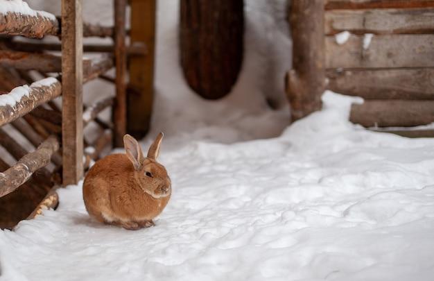 農場で冬に美しく、ふわふわの赤いウサギ。ウサギは食べ物を待って座っています。