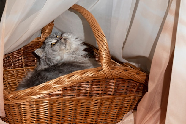 A beautiful fluffy scottish straight-eared cat is resting in a cat's bed, in a basket