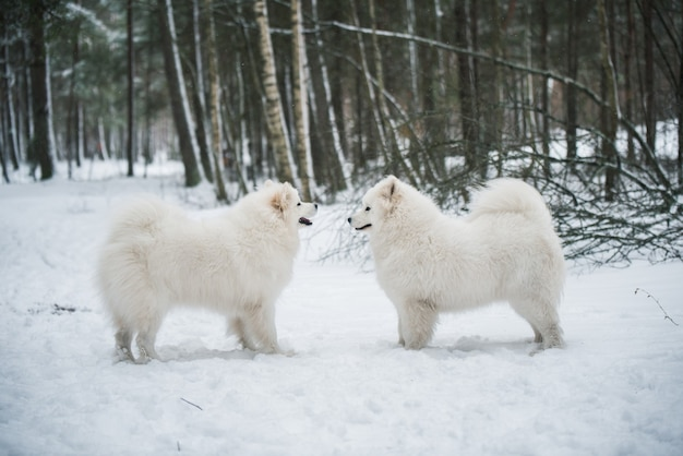 아름다운 솜털 두 사모예드 흰 개가 겨울 숲, 발트해의 카르 니코 바에 있습니다.