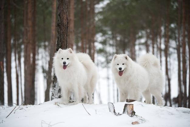 아름다운 솜털 두 사모예드 흰 개가 겨울 숲에 있습니다.
