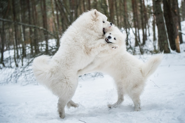 美しいふわふわの2匹のサモエドの白い犬が冬の森、バルト海のカルニコワで遊んでいます