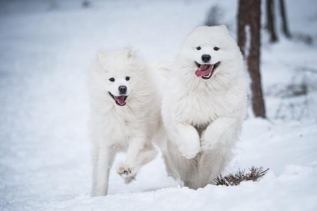 아름다운 솜털 두 사모예드 흰 개가 겨울 숲에서 놀고 있습니다.