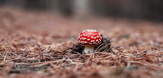 秋の森の中の美しいベニテングタケは、秋のクローズアップで赤いテングタケを毒殺しました...