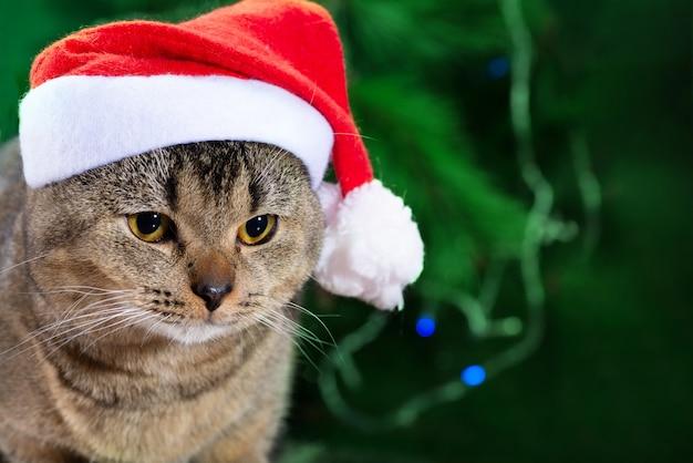 녹색 크리스마스 배경에 산타 클로스 모자를 쓰고 아름 다운 배 스코틀랜드 고양이. 크리스마스 카드