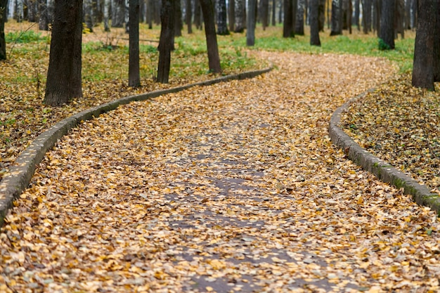 Beautiful forest footpath with fallen leaves. autumn birch alley. calm weather. no people. season change time.