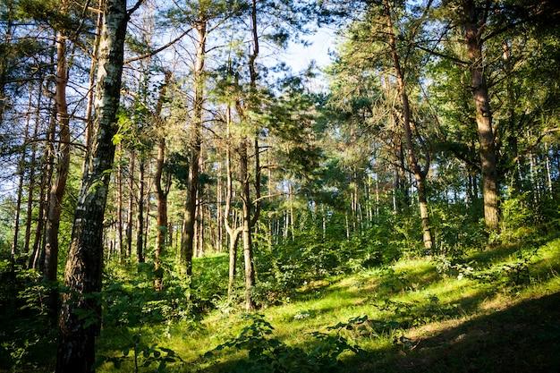 Красивый лесной пейзаж с зелеными деревьями в солнечный летний день