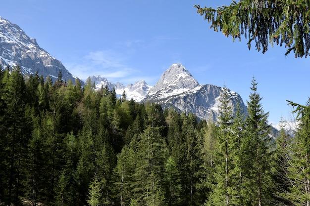 Красивый лес с множеством елей с высокими заснеженными горами.