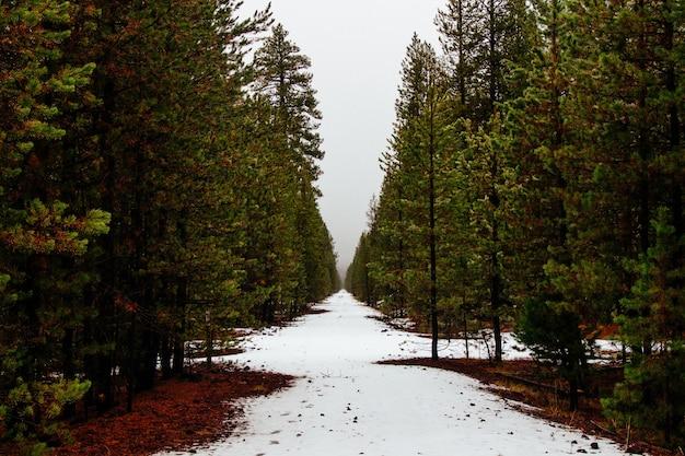 Красивый лес с соснами и небольшим снегом, оставшимся после зимы
