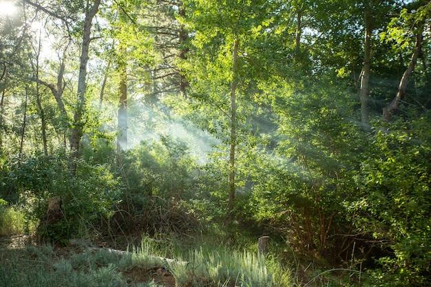Красивый лес с лучами солнца