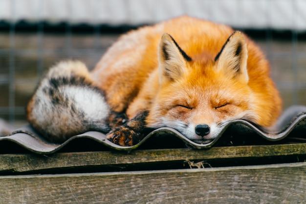 Прекрасная лиса спит на крыше питомника