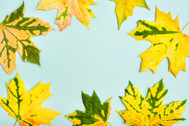 Beautiful frame of yellowgreen fallen maple leaves on a cardboard