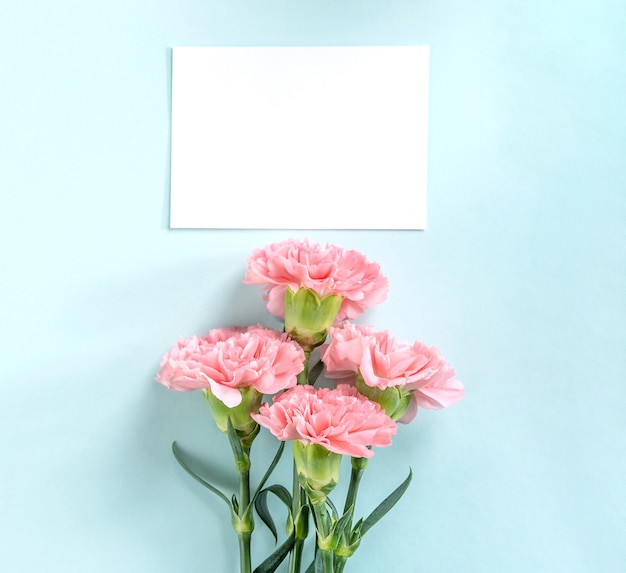 Beautiful fresh blooming carnations isolated on bright blue background,