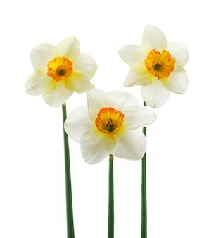 美しい新鮮な水仙の花、