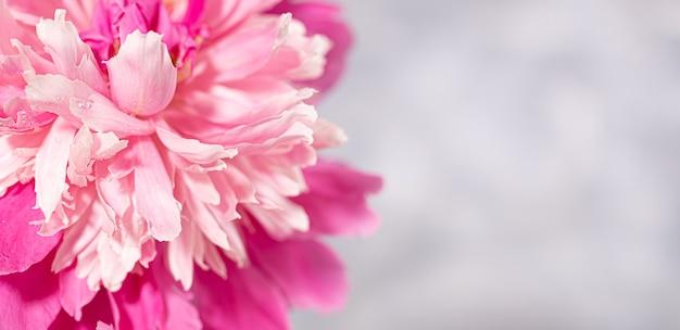 Красивый свежий нежный розовый цветок пиона крупным планом на сером фоне с копией пространства. день святого валентина, день матери, женский месяц, международный женский день, свадьба. вид сверху. мягкий фокус.