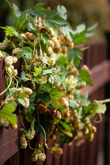 Beautiful fresh hop on a wooden brown fence.