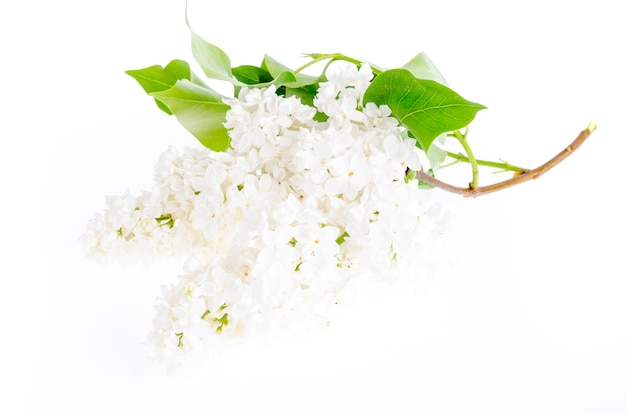Beautiful fresh lilac flowers isolated on white