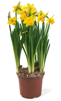 Beautiful fresh narcissus flowers
