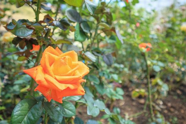 Красивые свежие натуральные розы в цветнике