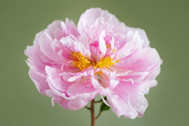 Красивые свежие розовые пионы в стеклянной вазе на зеленом фонесовременный натюрморт натуральный цветочный фон ...