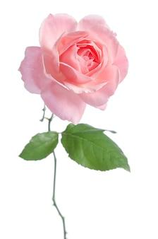 Beautiful fresh pink rose isolated on white
