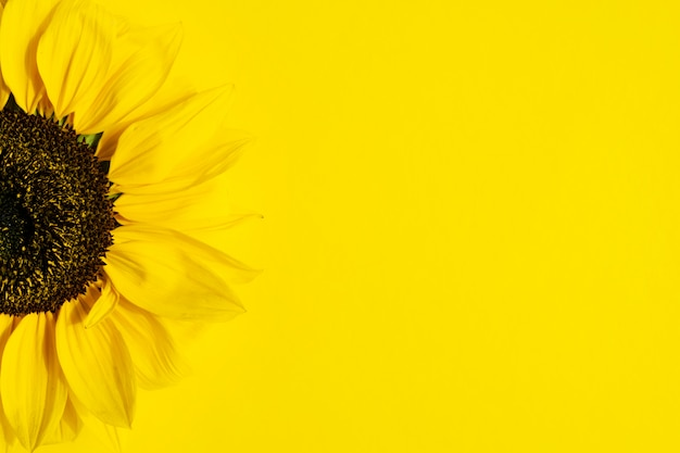 Beautiful fresh sunflower on bright yellow background.