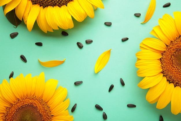 Красивые свежие подсолнухи с семенами на фоне мяты. плоская планировка, вид сверху, копия пространства. осень или лето концепция, время сбора урожая, сельское хозяйство. подсолнечник естественный фон.
