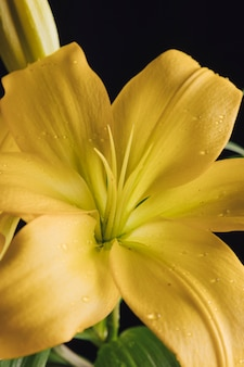 Beautiful fresh yellow flower in dew