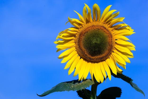 Beautiful fresh yellow sunflower macro shooting. sunflower blooming close-up