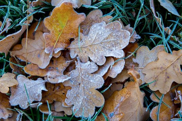 凍った草の上の美しい凍ったオークの葉がクローズアップ。枯れた葉の霜。最初の秋の凍結。