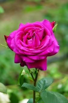 Beautiful fuchsia color rose