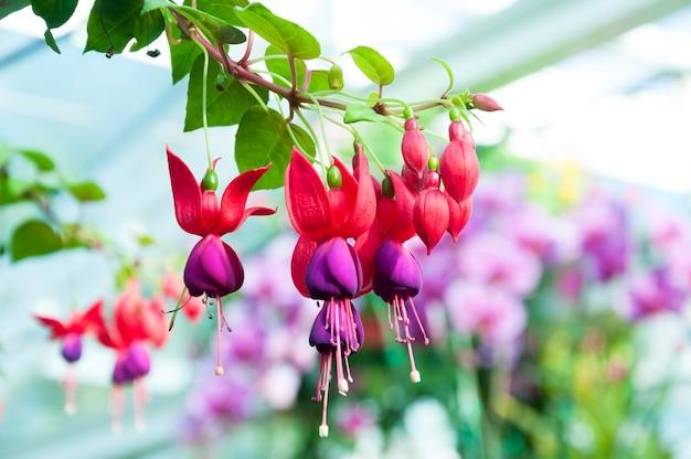 Красивые цветы фуксии в саду