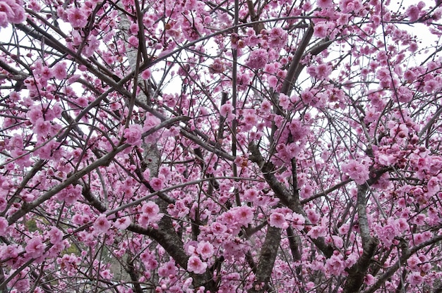 Beautiful full bloom cherry blossom pink sakura tree