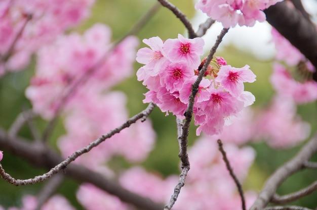 Beautiful full bloom pink cherry blossom sakura flowers