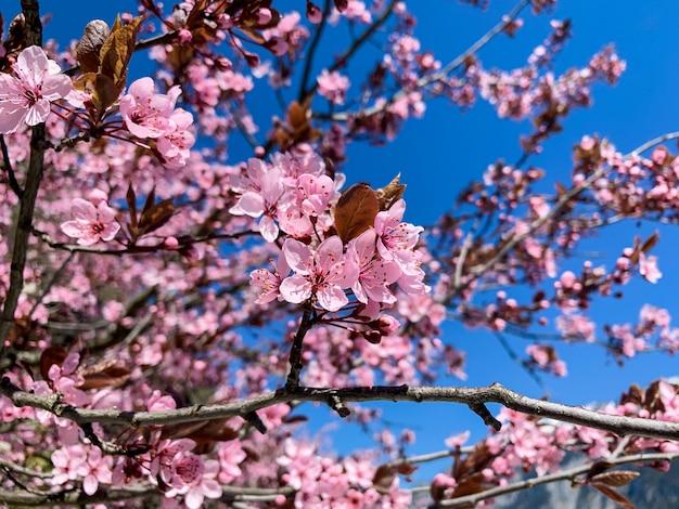 Красивая полная цветущая розовая сакура или вишневый цвет в весенний сезон с голубым небом.