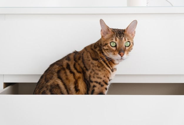 Beautiful funny bengal cat sitting in drawer of commode, playing, on white background. games with pet, move concept.